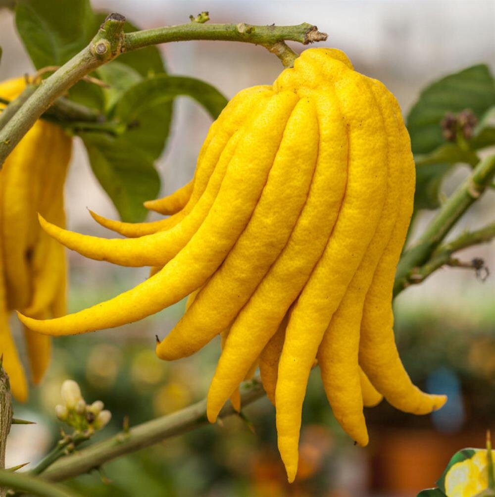 Плод лимона своими руками