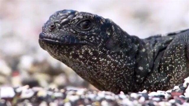 Yılan mahallesinden sağ çıkan yürek yemiş iguana