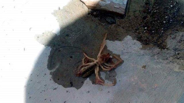 Kayseri'de et yiyen örümcek paniği
