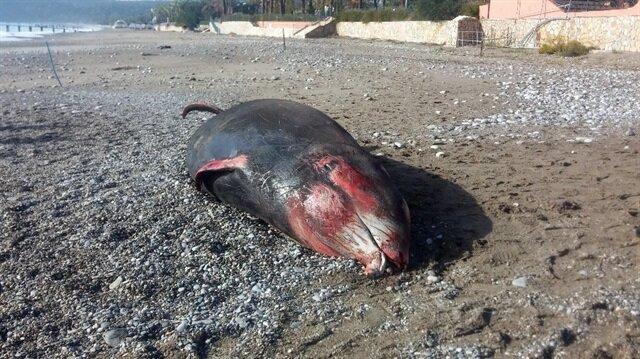 Antalya'daki hortum sonrası kıyıya 5 metre uzunluğunda balina vurdu