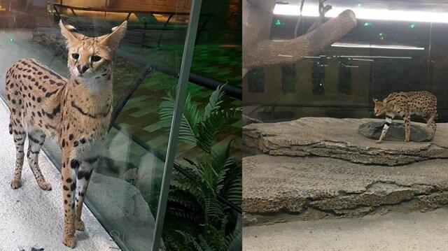 Serval kedisi AVM'de sergileniyor!