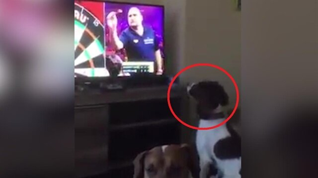 TV'deki dart okunu evin içinde arayan şaşkın köpek