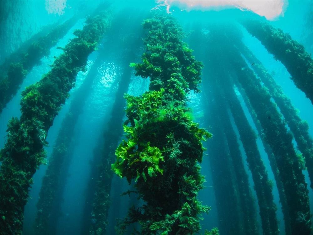 Doğada yer alan algler, karbon dioksit ve çevresel sorunlara yol açan katı ve sıvı atıklar ile beslenmektedir.
