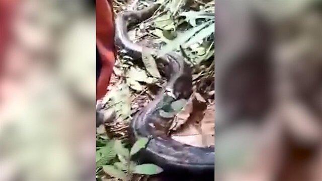 Aç kalan köylüler piton yılanını yedi
