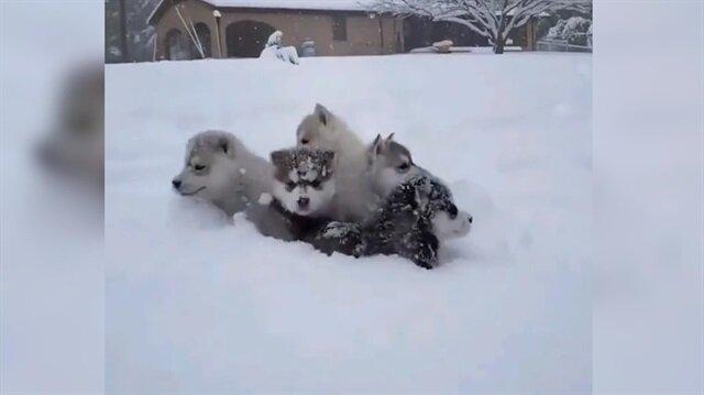 İlk defa karla tanışan husky yavruları