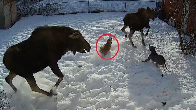 Geyik saldırısı köpeği hastanelik etti