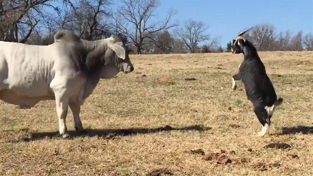 Delikanlı keçi kocaman ineği korkutuyor