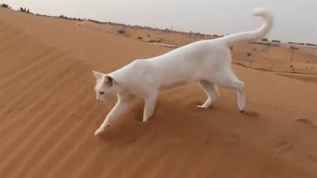 Kedinin ilginç ayak hareketleri