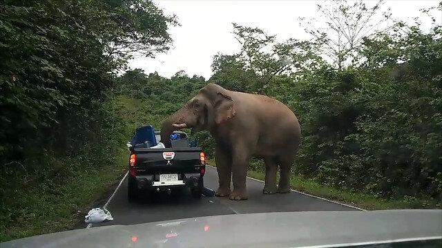 Aç kalan fil yol kesip araçlarda yiyecek aradı