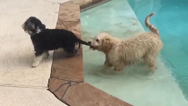 Kuyruğundan ısırıp arkadaşını zorla havuza sokan köpek
