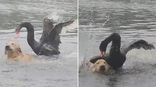 Bölgesine giren köpeği tokatlayarak uzaklaştıran öfkeli kuğu