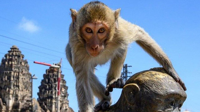 🐒 COVID19'un boşalttığı sokakları maymunlar istila etti