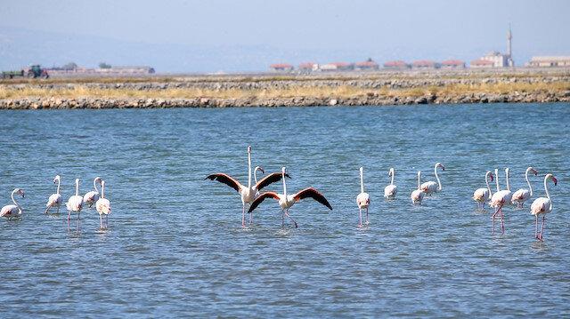 Kuş Cenneti'nde yavru flamingolar uçmaya hazırlanıyor 🦩