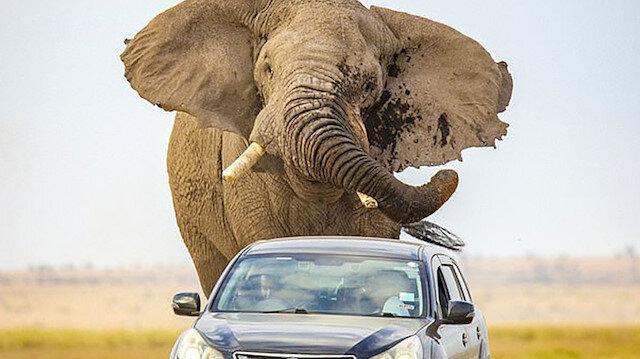 Hız yapan araçların korkuttuğu anne fil, neredeyse başka bir arabayı eziyordu