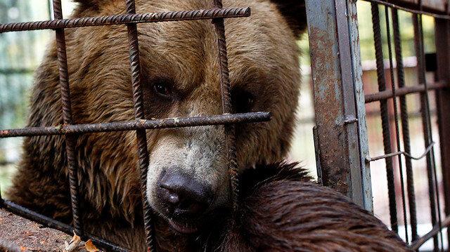 Boz ayı Teddy, kötü muamele gördüğü için Bulgaristan'daki hayvan koruma derneğine sevkedildi