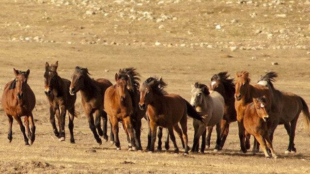 Torosların 'Yılkı atları': Soyları Osmanlı süvari birliğine dayanıyor