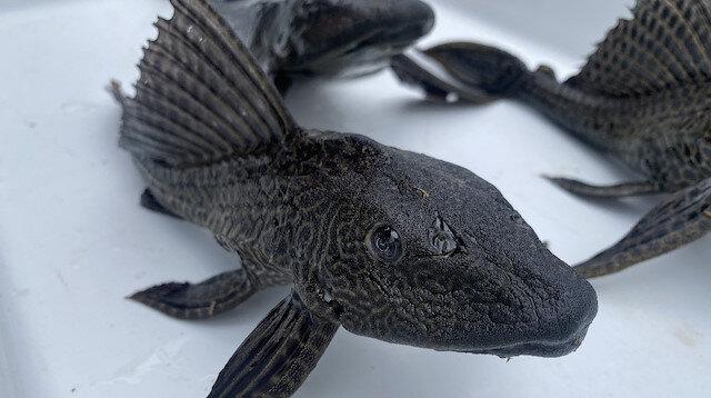 Türkiye sularında da görüldü: En tehlikeli 100 canlıdan biri