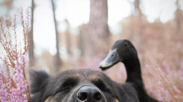 Köpek Vendetta'nın ördek ile arkadaşlığı