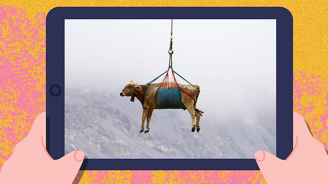 Otlamaları için helikopterle başka yere taşınan inekler 🐮